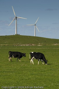 Cows and Windfarm